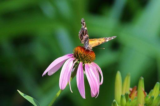 Butterfly On Purple Coneflower, Plant, Flowering