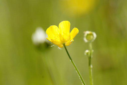 Buttercup, Hahnenfußgewächs, Flowers, Pointed Flower