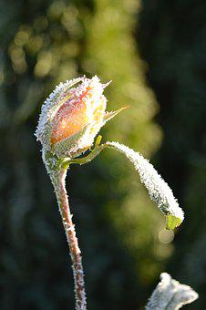 Rosebud, Blossom, Bloom, Hoarfrost, Frost, Winter, Icy