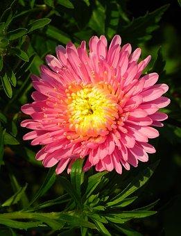 Flower, Aster, Pink, Garden, Summer, Nature, Closeup