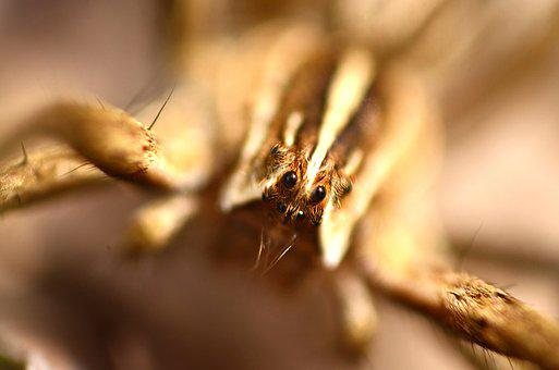Spider, Brown, Animal, Macro, Micro, Insect, Nature