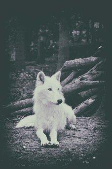 Wolf, White Wolf, Mammal, Nature, Animal World
