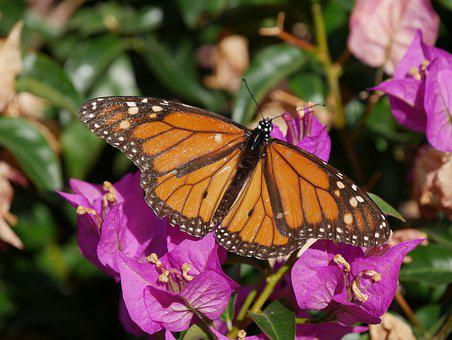 Monarch Butterfly, Butterfly, Insect, Nature, Monarch