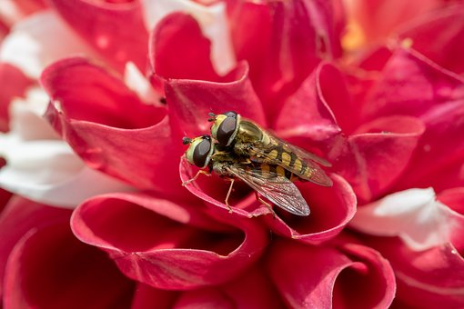 Small Hover Fly, Syrphus Vitripennis, Pairing, Hoverfly