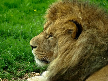 Lion, Main, Predator, Relaxed, Nature, Animal, Majestic