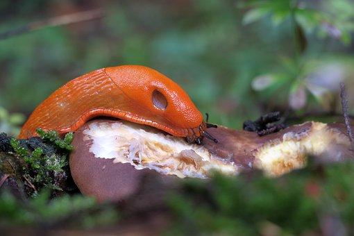 Red Wegschnecke, Arion Rufus, Slug, Mushroom, Eat