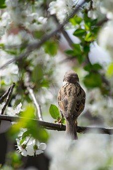 Sparrow, Bird, Spring, Nature, Animal, Meadow, Garden
