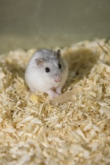 Rodent, Hamster, Dwarf Hamster, Mini, Sweet, Knuffig