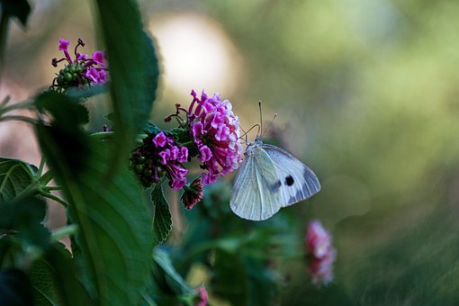Pieris Rapae, Butterfly, The Large Cabbage White Lesser