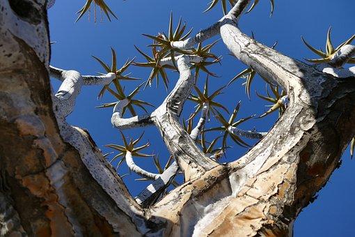 Namibia, Quiver Tree, Africa, Nature, Stone Desert