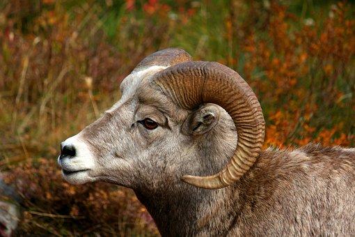 Bighorn, Sheep, Ram, Wilderness, Male