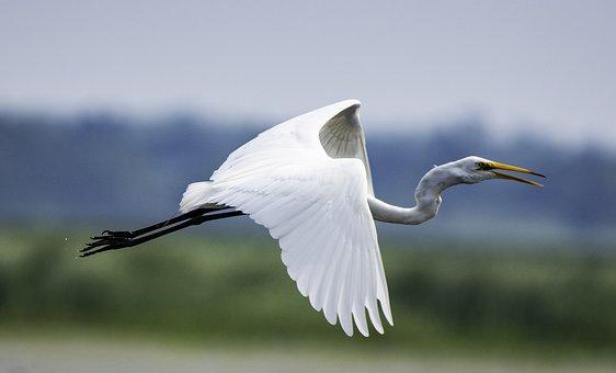 Great Egret, White, Bird, Wildlife, Egret, Waterbird