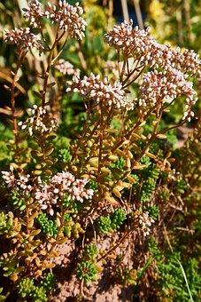 Rotmoos, Stonecrop, Blossom, Bloom, Coral Carpet