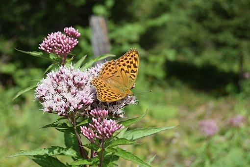 Butterfly, Butterflies, Fritillary, Silver Line