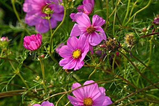 Cosmea, Flower, Plant, Garden Cosmos, Mexican Aster