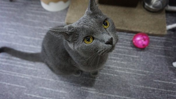 Cat, Russian Blue, A Brooks, Cute, Animal, Grey, Cats