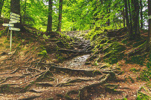 Forest Path, Eistobel Isny, Hike, Root, Root System