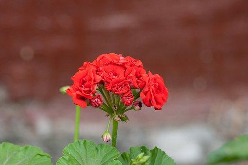 Mini Rose, Flowers, Flower, Bloom, Rose, Mini Flower
