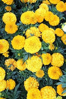 Marigold, Plant, Flowers, Bloom, Gardening