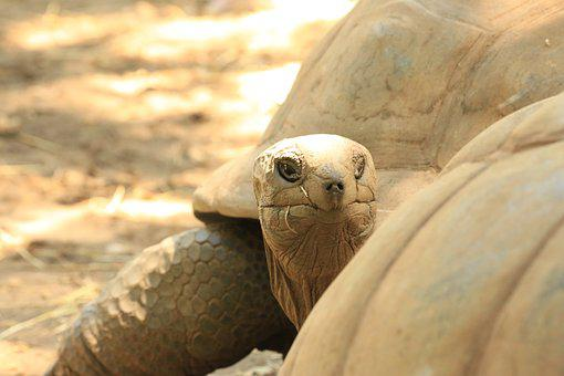 Carapace, Turtle, Reptile, Head, Turtles, Giant, Grand