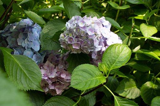 Hydrangea, Flower, Pink, Purple, Nature, Leaf, Green