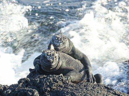 Marine Lizards, Galapagos, Reptile