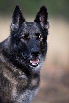 German Shepherd, Dog, Large, Grey, Animal, Nature