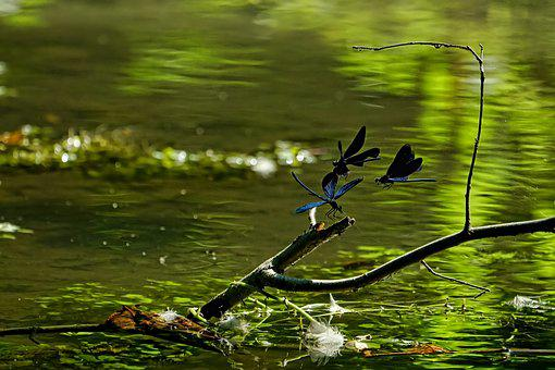 Nature, Pond, Magnificent Dragonflies Male, Flying