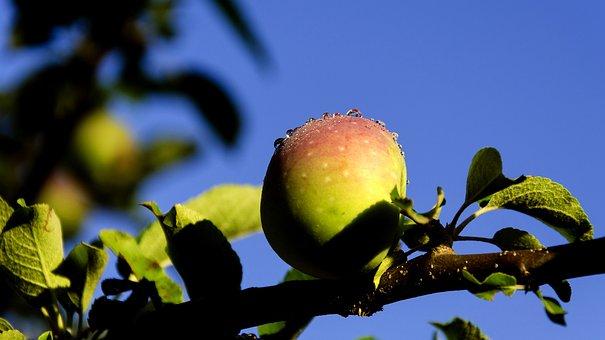 Apple, Nature, Spring, Branch, Fruit, Tree, Close, Dawn