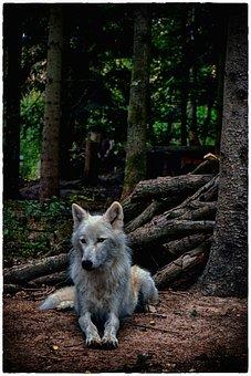 Wolf, White Wolf, White, Mammal, Nature, Animal World