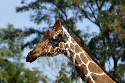 Giraffe, Animal, Animal Portrait, Head, Neck, Portrait