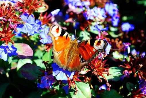 Peacock Butterfly, Flowers Visit, Nektarsuche