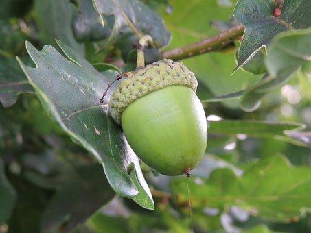Acorn, Oak, Autumn, Tree, Nature, Forest, Seed, Fruit