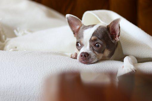 Animals, Pet, Dog, Puppy, Brown, Pup, Chihuahua, White