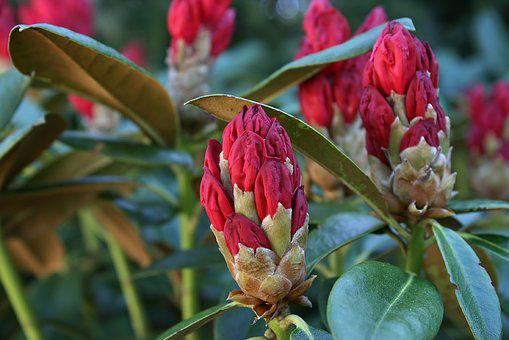 Rhododendron, Red, Blossom, Bloom, Garden, Bush, Bud