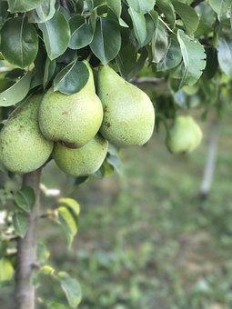 Pears, Pear, Tree