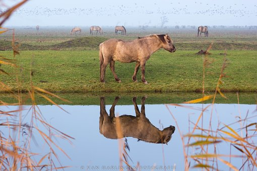 Horses, Mirror Image, Reflection, Water