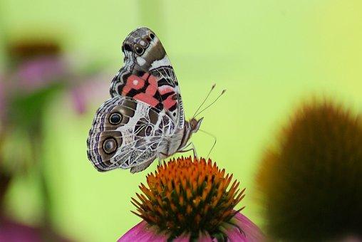 American Lady Butterfly, Purple, American Lady, Summer