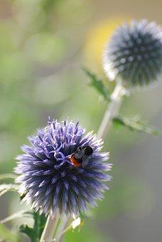 Echinops, Thistle, Bee