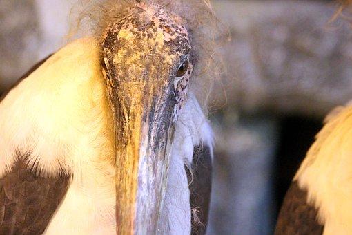 Marabou, Bird, Leptoptilos Crumeniferus, Marabou Stork