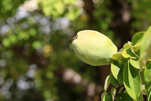 Chinese Quince, Fruit, Wood, Nature, Plants