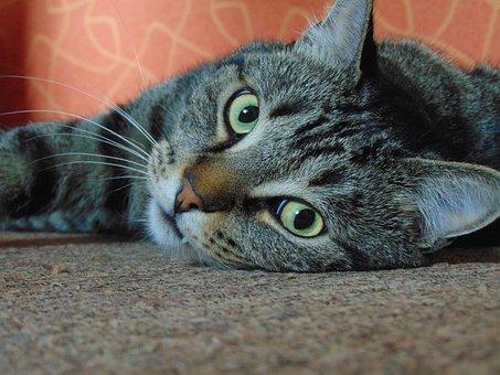 Cat, Pussy, Tomcat, Cute, Close Up, Feline, View