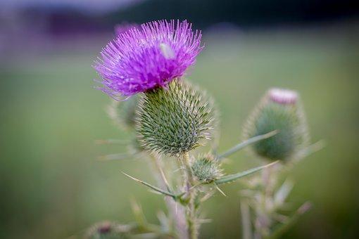 Thistle, Spur, Nature, Plant, Close Up, Macro, Violet