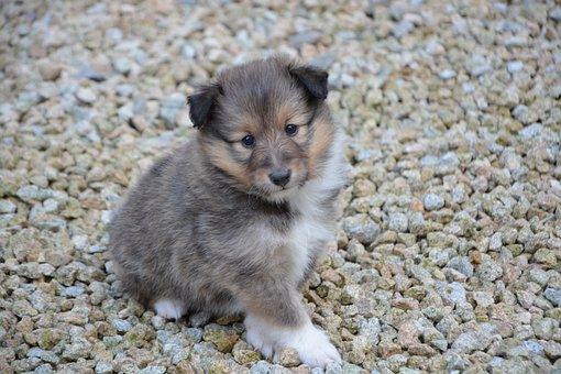 Puppy, Dog, Pup, Dog O Toby, Shepherd Shetland, Cute