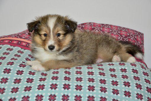 Dog, Puppy, Puppy Sheepdog Shetland, Small Dog