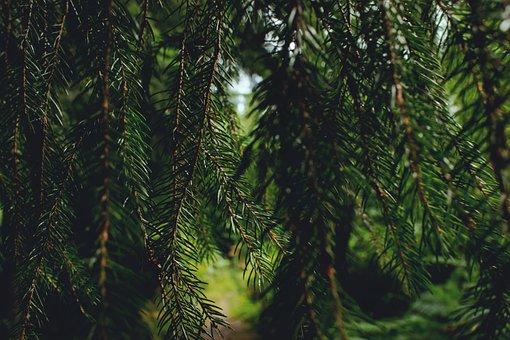 Nature, Tannenzweig, Green, Branch, Evergreen