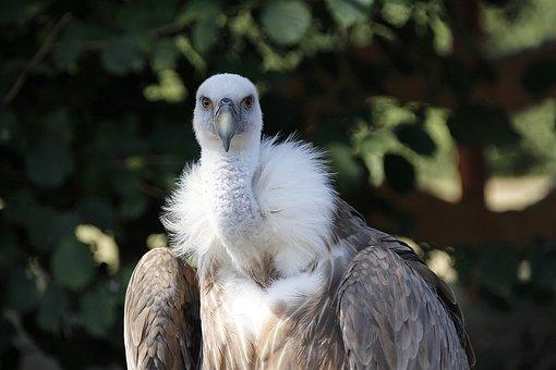 Vulture, Griffon Vulture, Bird, Scavengers