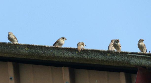 Sparrows, Gutter, Sky, Birds, Wings, Feathers, Beak