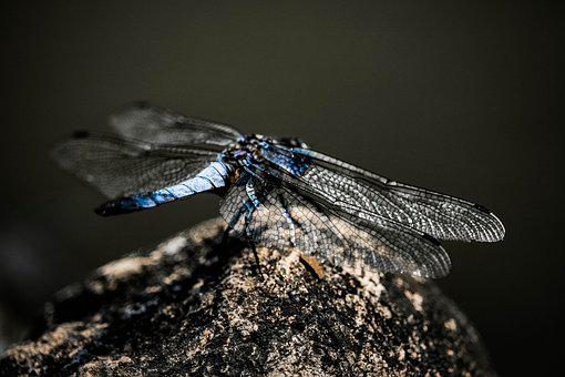 Dragonfly, Nature, Insect, Ali, Blue, Insects