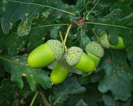 Acorn, Green, Fruit, Oak, Leaves, Branch, Oak Leaves